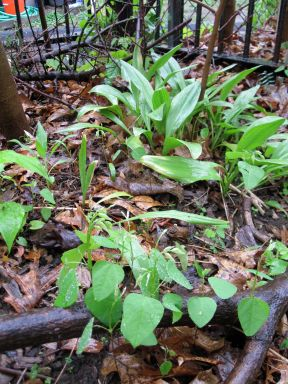 ramps and hog peanut under pawpaw