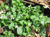 violet groundcover