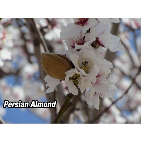 persian almond