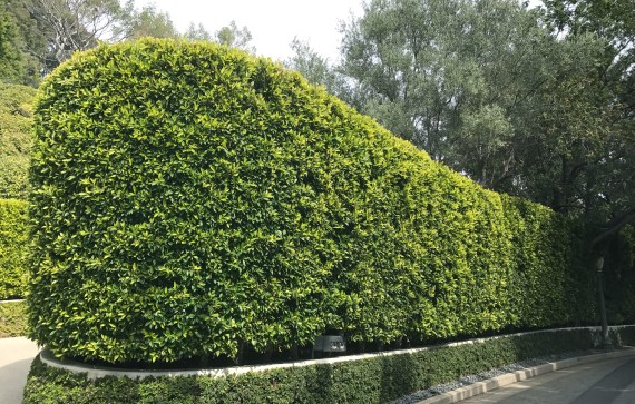 Hedge of Ficus Nitida