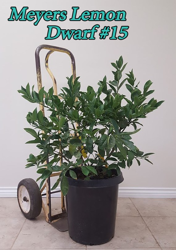 Dwarf Meyers Lemon Tree