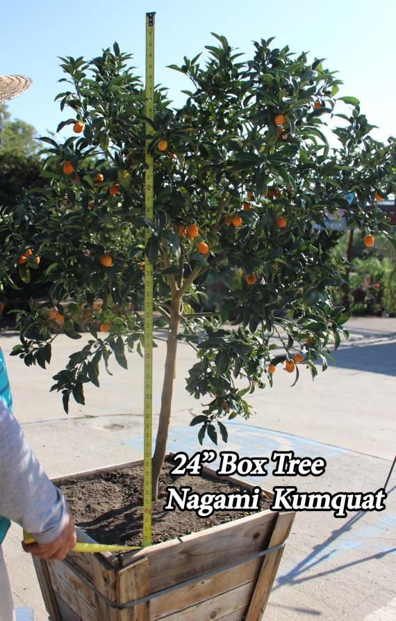 """kumquat tree 24"""" box"""