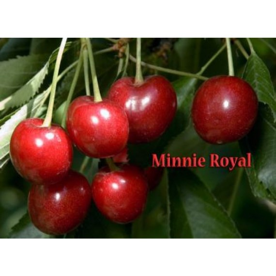 minnie royal cherry