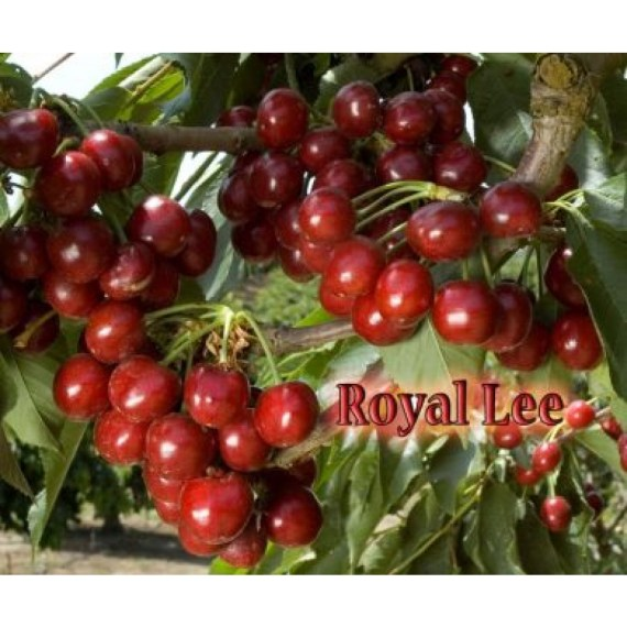 royal lee cherry tree
