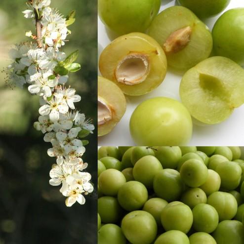 green gage plum fruit