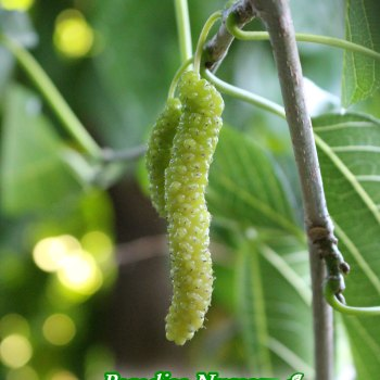 white pakistan mulberry tree
