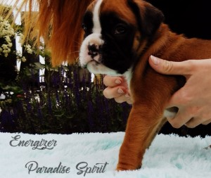 ENERGIZER Paradise Spirit - AVAILABLE