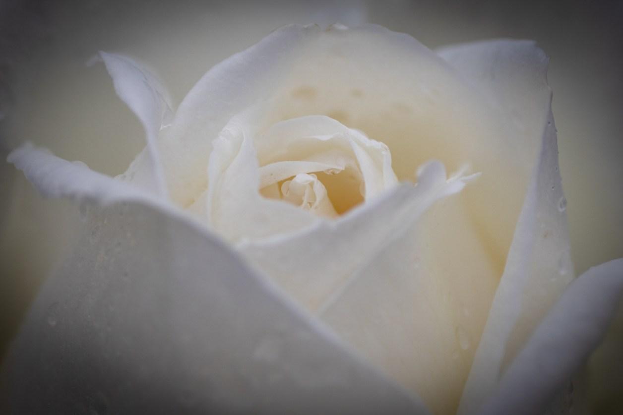 バラ ホワイトクリスマス〈Rose White Christmas〉