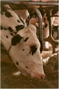 dairy cow eating silage in barn