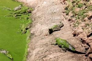 gmabia-krokodyle-5 [MINIATURY]