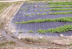 Pepino - plantação
