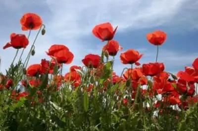 Papoula: Planta que apesar do efeito alucinógeno (uso errado), possue vários efeitos medicinais