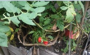 pimentao-minha-horta