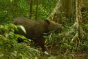Muere Tam, el último rinoceronte macho de Sumatra
