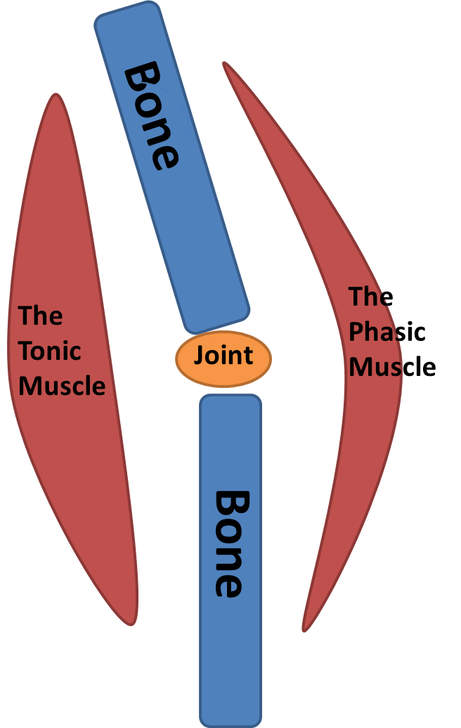 What Are Tonic And Phasic Muscles