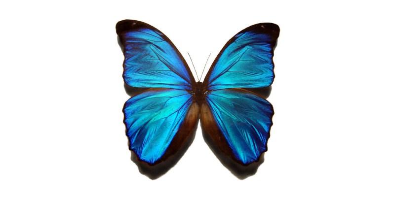 Blue_morpho_butterfly_1600x800