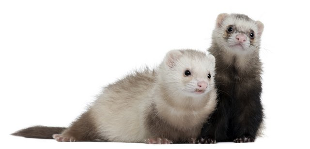 Ferrets, 8 months old, in front of white background