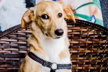 Cão Mustafá, disponível para adoção na campanha do Aurora Shopping e SOS Vida Animal