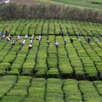 Apanha de chá no Porto Formoso