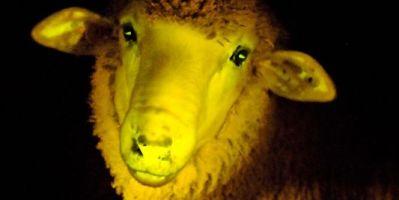 Naissance de moutons génétiquement modifiés phosphorescents en Uruguay