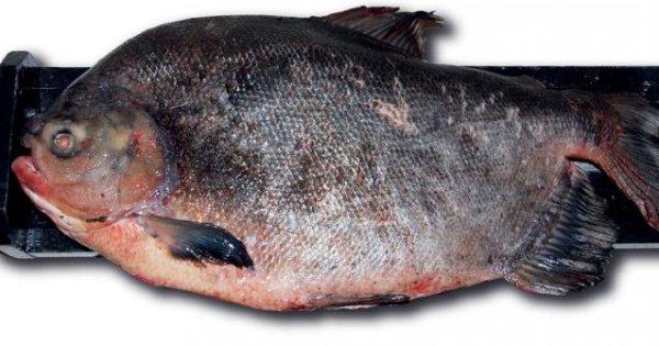 Des cousins du Piranha au Québec et une attaque de Carpe Asiatique