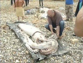 Une carcasse de calmar géant s'échoue sur une plage