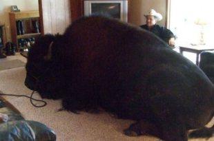 En Alberta, le meilleur ami de l'homme est un bison