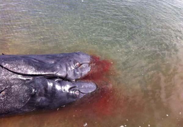 Mutation de Fukushima ? Une baleine à deux têtes échouée sur une plage de Baja California