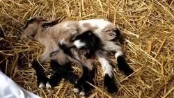 Insolite: Une chèvre à huit pattes voit le jour en Croatie