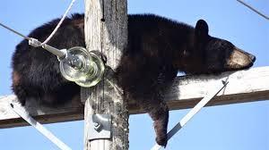 Un ours pique un somme en hauteur