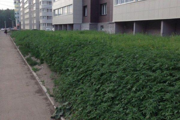 La mairie de Moscou se trompe de graine et plante du cannabis en ville