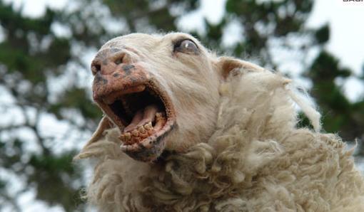 La tremblante du mouton pourrait passer la barrière d'espèce... jusqu'à nous ?