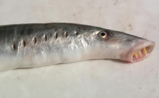 En Alaska, il pleut d'horribles poissons...
