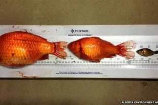 Canada : Les Albertains sont priés de ne pas se débarrasser de leurs poissons rouges aux toilettes car ils survivent et se multiplient à un rythme alarmant