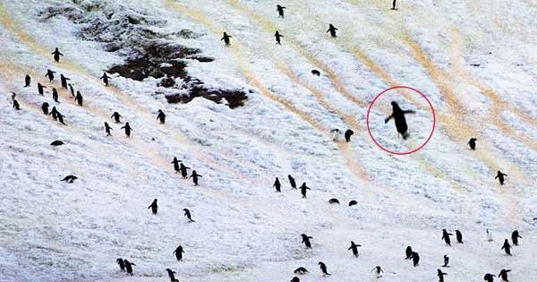 Un Pingouin géant 'éteint' de 2 mètres de haut repéré au large de la côte en Antarctique