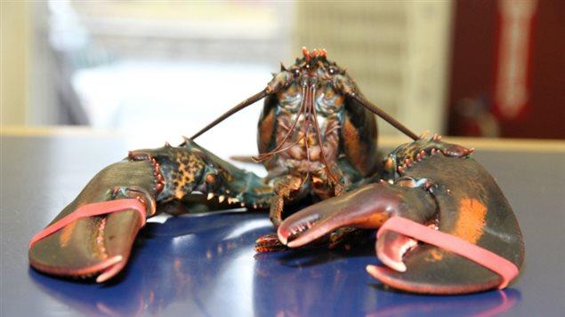 Voici « Baba », le homard à trois pinces
