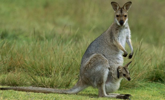 Les mystérieux marsupiaux d'Amérique du Nord