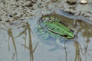Dordogne : condamnés par la justice car les grenouilles de leur mare font trop de bruit