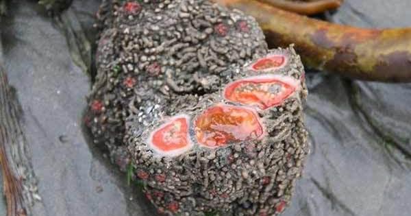 Le Pyura Chilensis, un rocher qui est VIVANT et COMESTIBLE !