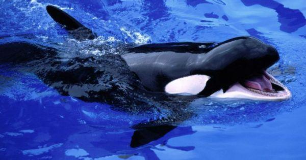 Vidéo: Une orque apprend à prononcer des mots humains. Une première…