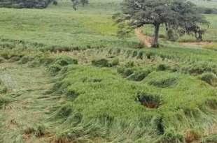 De mystérieux crop circles apparaissent à San José de Tapia