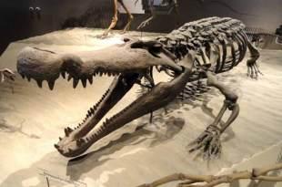 Le Deinosuchus avait des dents de la taille d'une banane
