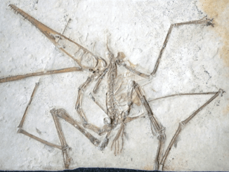 Holotype specimen of Pterodactylus antiquus