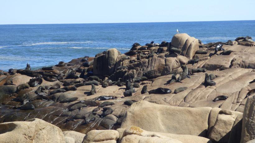 Loberia em Cabo Polônio