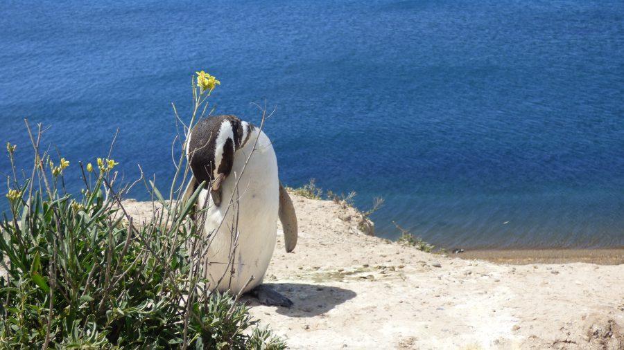 Um pinguim de Magalhães que chegou bem pertinho de nós.