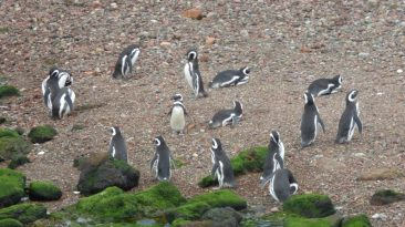 pinguins-de-magalhaes