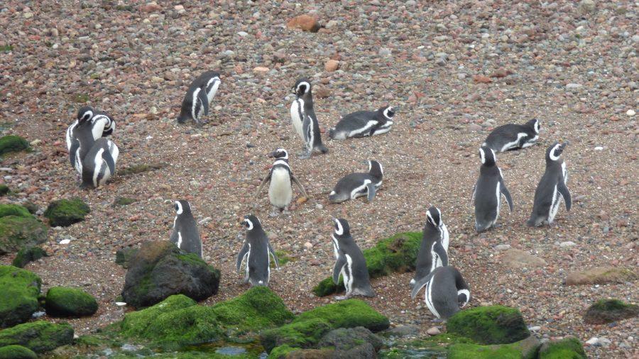 Alguns pinguins de Magalhães que resolveram sair dos ninhos para curtir um banho na praia