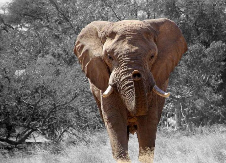 gajah, hewan terkuat di dunia