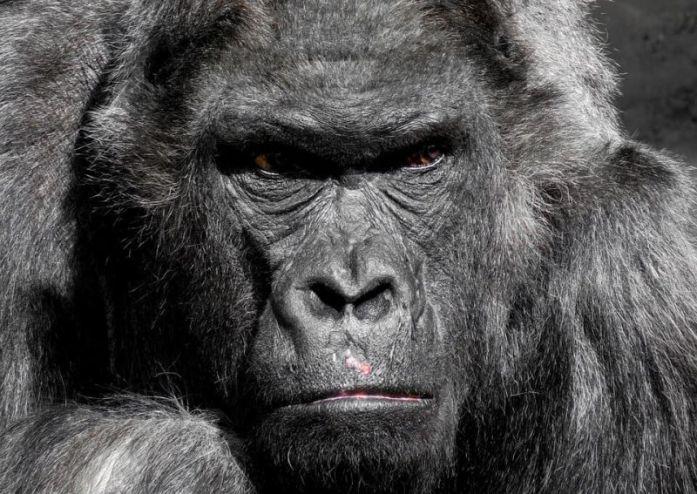 Gorilla HEWAN TERKUAT DI DUNIA