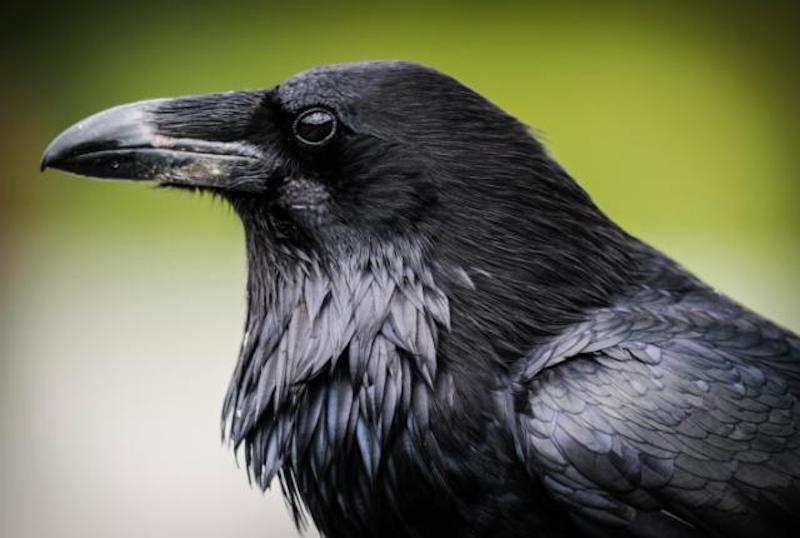 kisah burung gagak